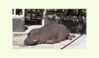 Sleeping Hippo