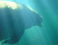Manatee with Sunrays