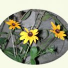 Black-eyed Susans, 10 notecards