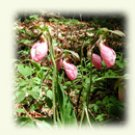lady slipper image, rectangle, on note cards