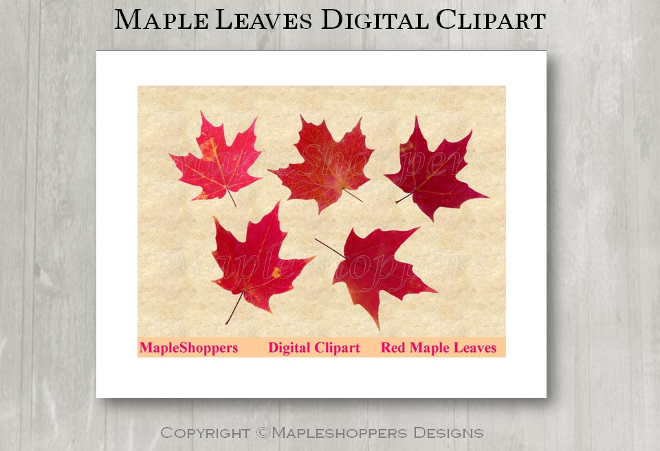 Maple Leaves Clipart Digital Leaf PNG Realistic Fall Leaf Graphics Printables