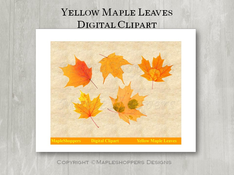 Yellow Gold Maple Leaf Clipart Digital Leaf PNG Realistic Maple Leaf Graphics Printables