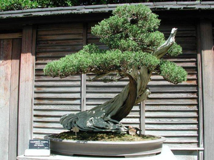 Growing Bonsai Trees