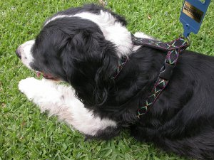 Nylon Harness for Dog for MIDIUM size dog