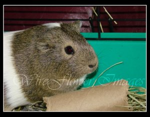 Guinea Pig in Cage - 8 x 10