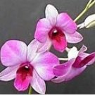 Hawaiian Orchid  Oil Perfume Rollette 6 mil