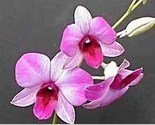 Hawaiian Orchid  Oil Perfume Rollette 6 mil