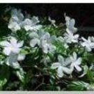 Jasmine  Oil Perfume Rollette 6 mil Sylvan Lane