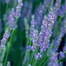 Lavender Vanilla  Oil Perfume Rollette 6 mil
