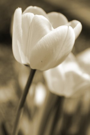 Tulip 5 8x10 Photo Print (Unframed)