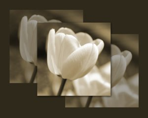 Tulip 6 14x11 Unframed Photo Print