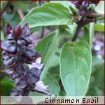 Basil Cinnamon