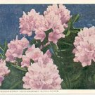 MOUNTAIN RHODODENDRON CATAWBIENSE in FULL BLOOM PICTURE POSTCARD #204 USED 1950