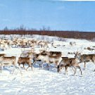 NORWAY REINDEER COLOR PICTURE POSTCARD #255 UNUSED
