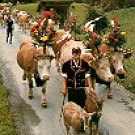 ALPABFAHRT SWITZERLAND 95906 COLOR PICTURE POSTCARD #281 UNUSED