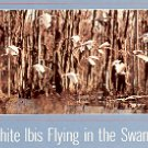 WHITE IBIS FLYING IN THE SWAMP MISSISSIPPI COLOR PICTURE POSTCARD #486 UNUSED