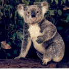 THE AUSSIE KOALA SYDNEY NEW SOUTH WALES AUSTRALIA COLOR POSTCARD #12A UNUSED NEAR MINT