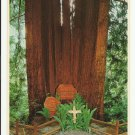 CATHEDRAL TREE TREES OF MYSTERY - CALIFORNIA - VINTAGE COLOR POSTCARD 1982 UNUSED MINT # 618