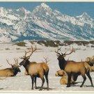 NATIONAL ELK REFUGE - JACKSON WYOMING - VINTAGE COLOR POSTCARD 1981 UNUSED MINT # 628