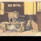 Roosevelt Lion Group, U.S. National Museum- Postcard- (# 73)