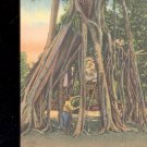 2 Million Dollar Banyan Tree- Florida-  Postcard- (# 28)