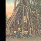2 Million Dollar Banyan Tree- Florida-  Postcard- (# 116))