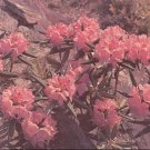 Rhododendron     postcard   (#255)