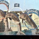 Thats Show Biz porpoises perform at Marineland Florida postcard   (# 419)