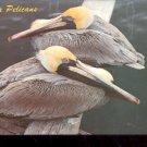 Florida Pelicans     Postcard (#429)