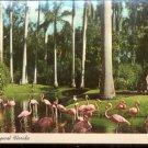 Flamingos in Tropical Florida     Postcard (#431)