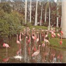 Pink Flamingos and Palms  Sarasota Jungle Gardens, Florida     Postcard (#442)