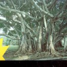 Florida   Banyan Tree  Postcard (#449)