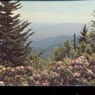 Catawba rhododendron Great Smoky Mountains National Park     Postcard (#478)