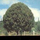 Oregon Myrtle Trees      Postcard (#504)