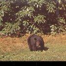 Black Bear- Great Smoky Mountains National Park      Postcard (#524)