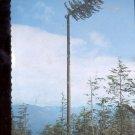 Lumber Jack Topping a Spar Tree    Postcard   (# 725)