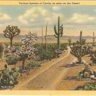 Various Species of Cactus on Desert postcard  vintage