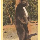 Bear Yosemite National Park Howdy FOlks 3A-H154 postcard pc