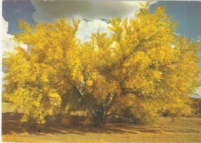 Palo Verde Trees on the Desert Arizona postcard
