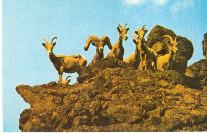 Desert Big Horn bighorn Sheep Nevada vintage postcard