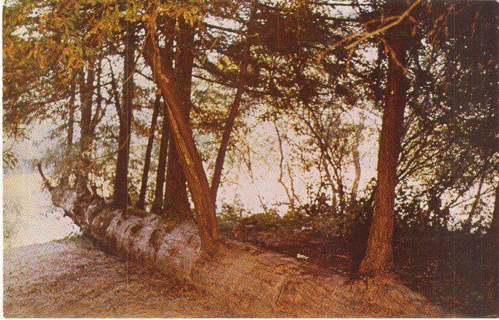 Re-incarnation tree redwood California vintage postcard