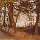 Re-incarnation tree redwood California vintage postcard