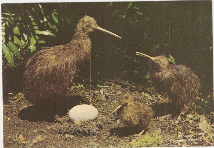 Kiwi Family Egg New Zealand vintage postcard