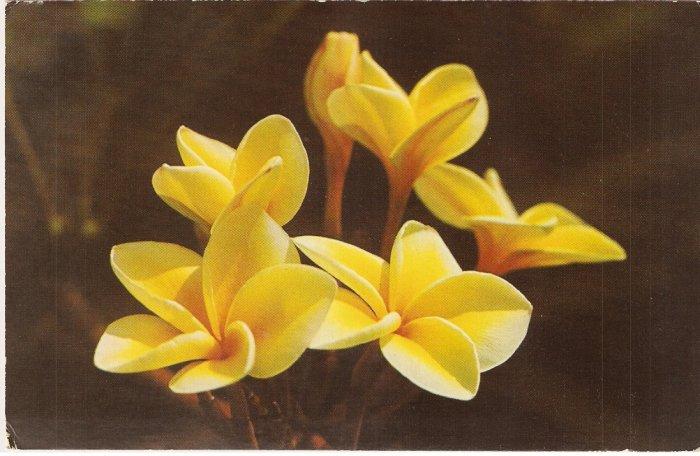 Yellow Plumeria Flowers Blossoms Hawaii vintage postcard