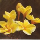 Yellow Plumeria Flowers Blossoms Hawaii vintage postcard