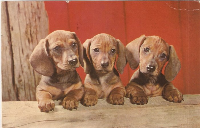 Dachshund Pups Dogs vintage postcard