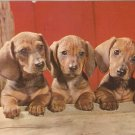Dachshund Pups Dogs vintage postcard
