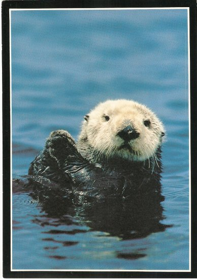 Sea Otter Monterey Bay Aquarium California vintage postcard