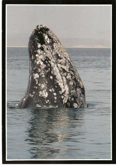 Gray Whale Grey Monterey Bay Aquarium California vintage postcard