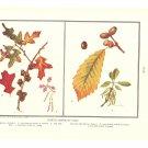 North American Oaks Color Plate Print 1936 Book